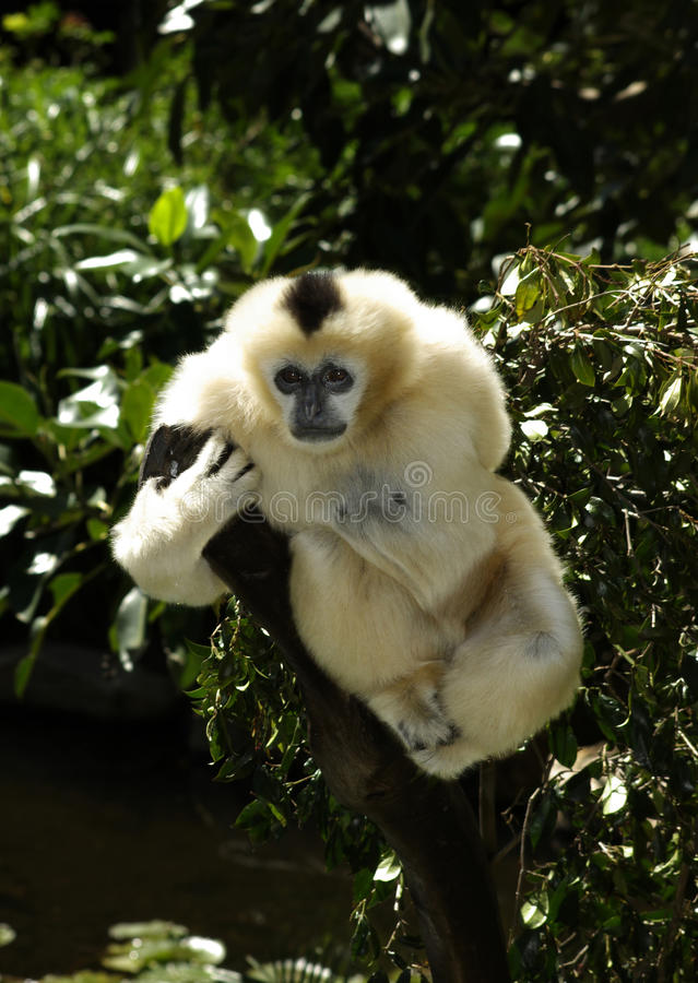 белизна gibbon щеки стоковое изображение rf