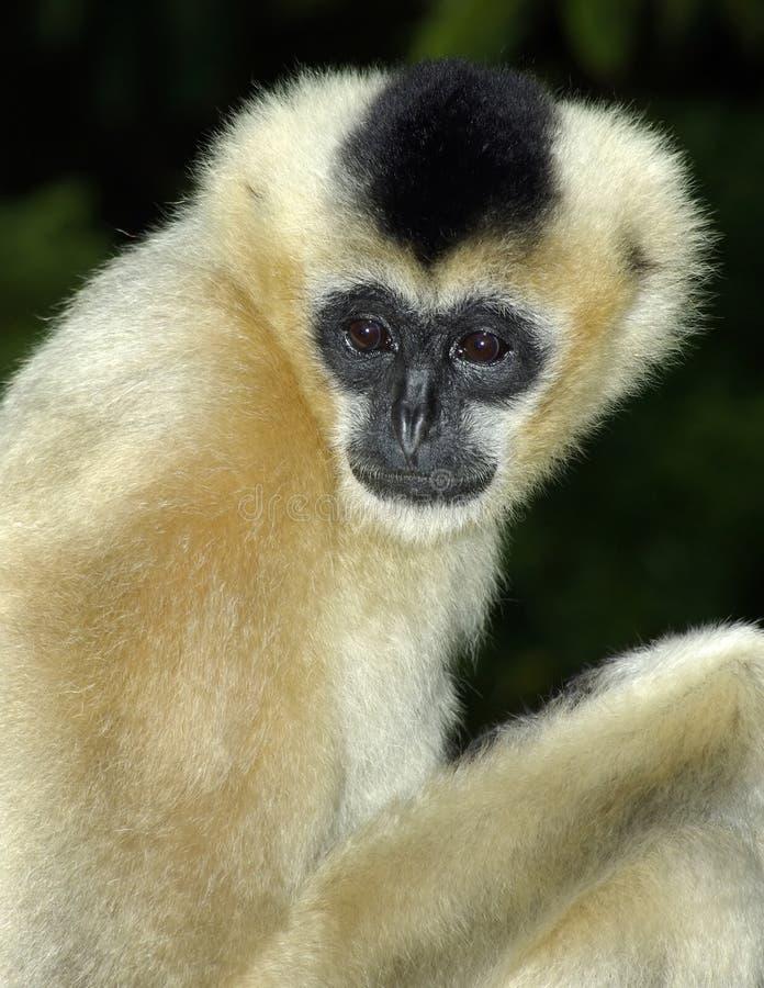 белизна gibbon щеки стоковое изображение