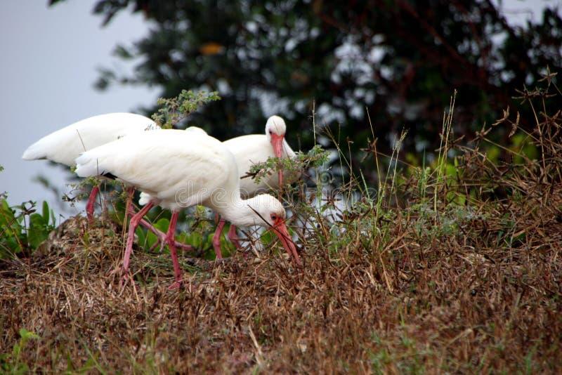 белизна ibis стоковые фото