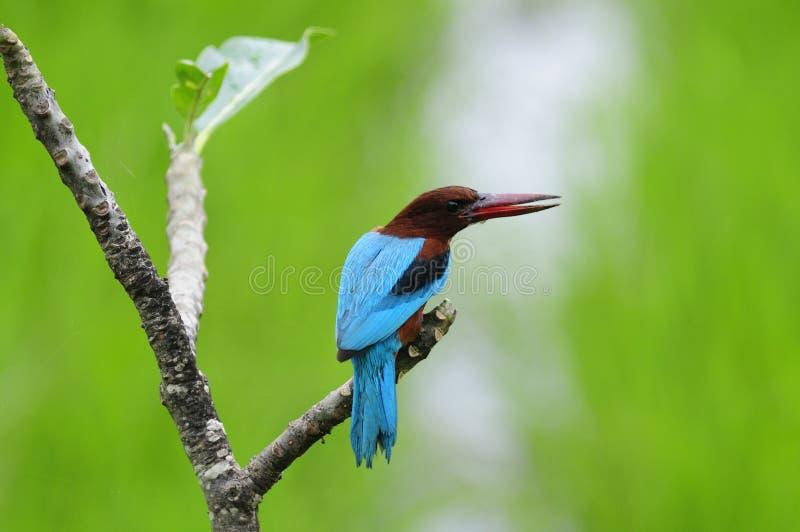 белизна kingfisher throated стоковое фото rf