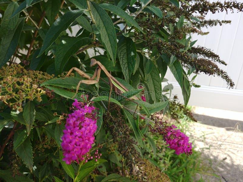 белизна mantis предпосылки моля стоковая фотография rf