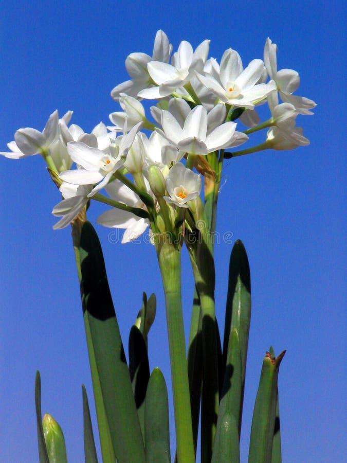 белизна Narcissus бумажная Стоковое Изображение RF