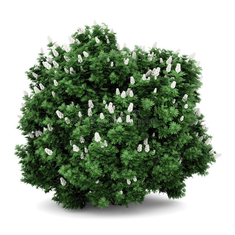 белизна oakleaf bush изолированная hydrangea иллюстрация вектора