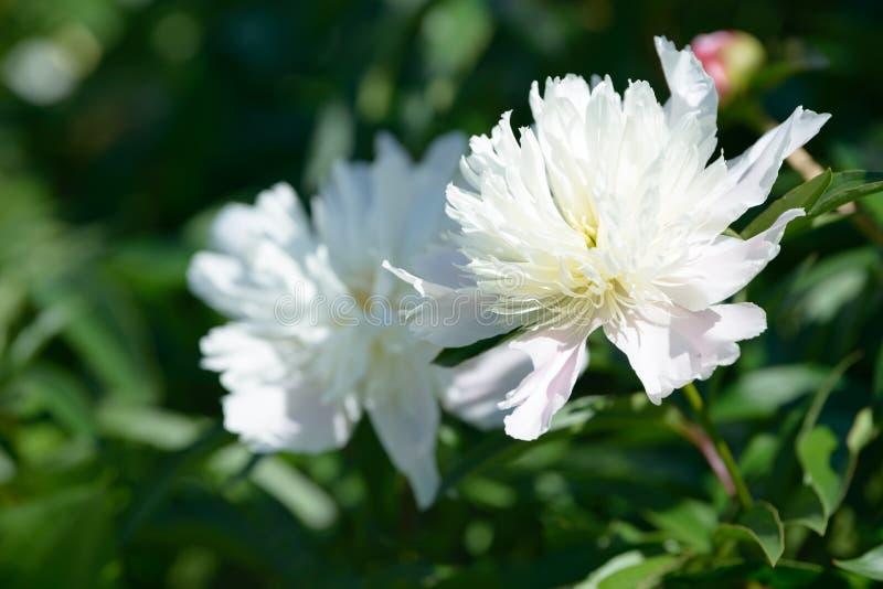 белизна peony цветка предпосылки Красный белый и фиолетовый пион цветет зацветать в саде Multicolor предпосылка крупного плана ма стоковое изображение rf