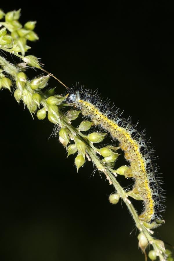 белизна pieris капусты brassicae стоковые изображения