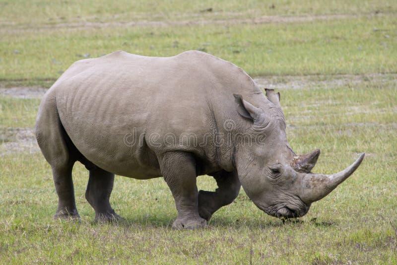 белизна rhinoceros nakuru озера стоковые фотографии rf