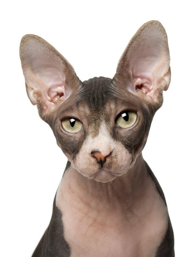 белизна sphynx 7 месяцев кота передних старая стоковое изображение