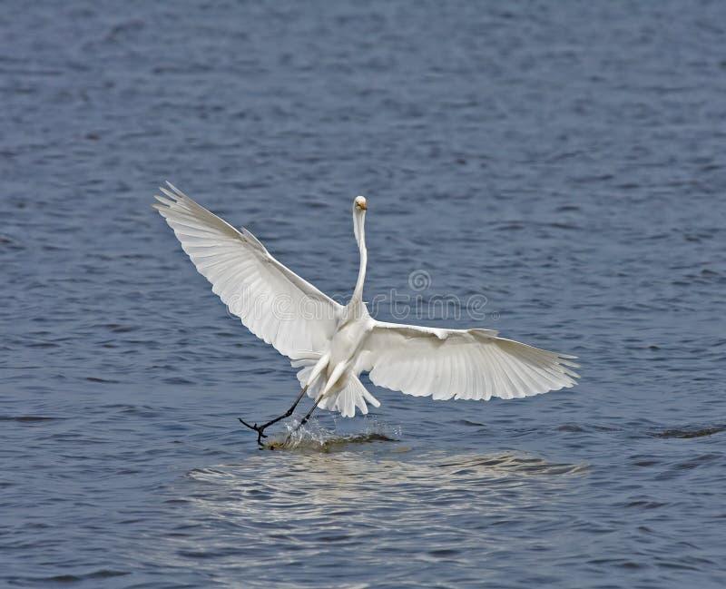 белизна splashdown egret большая стоковое фото