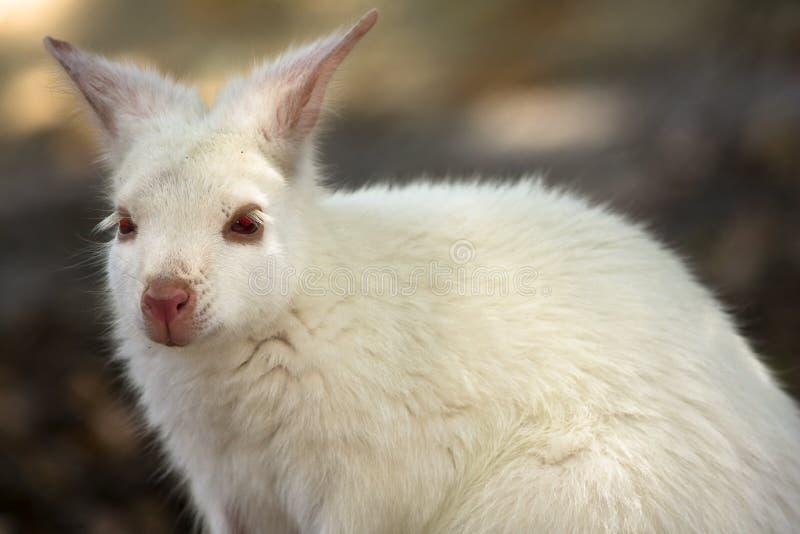 белизна wallaby стоковое фото