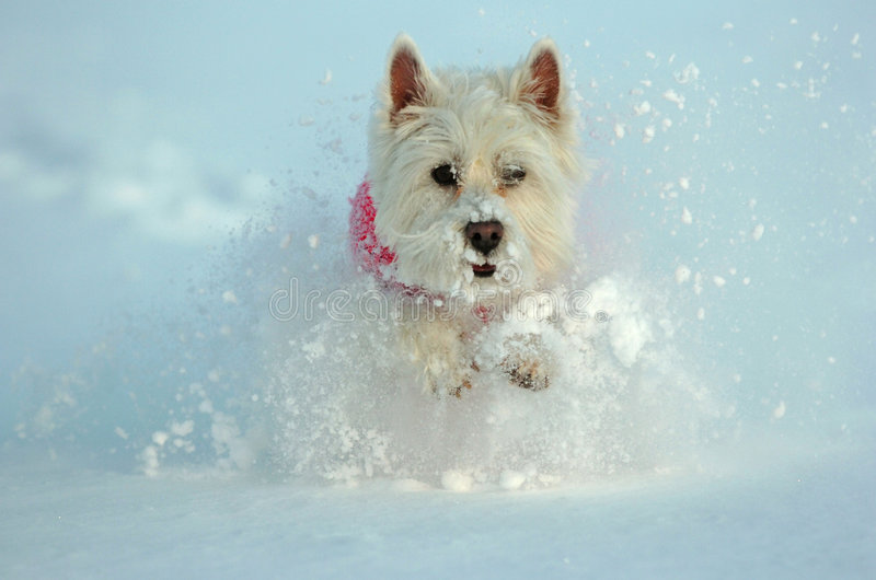 белизна westhighland terrier стоковая фотография
