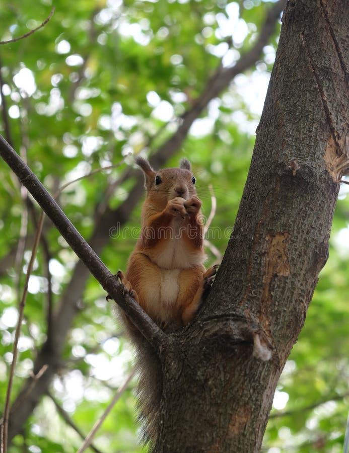 Белка Брайна сидит на ветви дерева в лесе лета чащи и ест гайки стоковое изображение