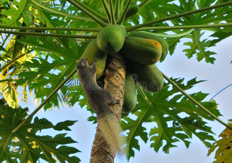 Белка вползая над некоторыми незрелыми зелеными папапайями на дереве стоковое фото rf