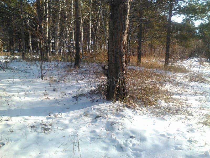 Белка дерева области Иркутска стоковые фото