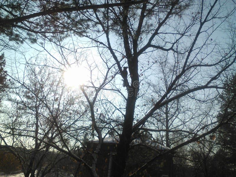 Белка дерева области Иркутска стоковые фотографии rf