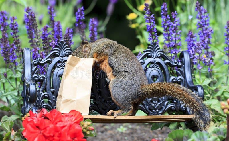 Белка Дуглас выступая в бумажное Lunchbag стоковые фото
