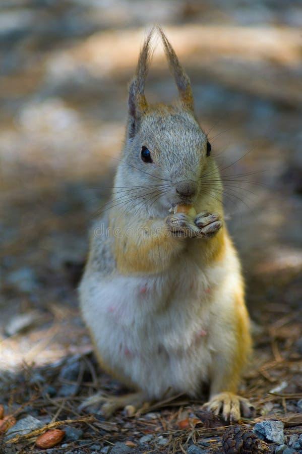 Белка есть арахисы грецкого ореха, вид спереди, вертикальное фото стоковое фото