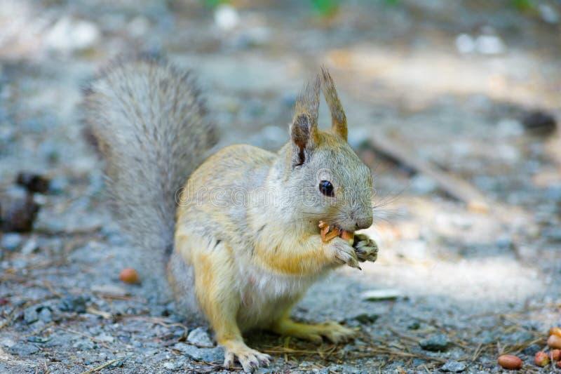 Белка ест арахисы гайки, право фото переднее, пониженный кабель стоковые фото