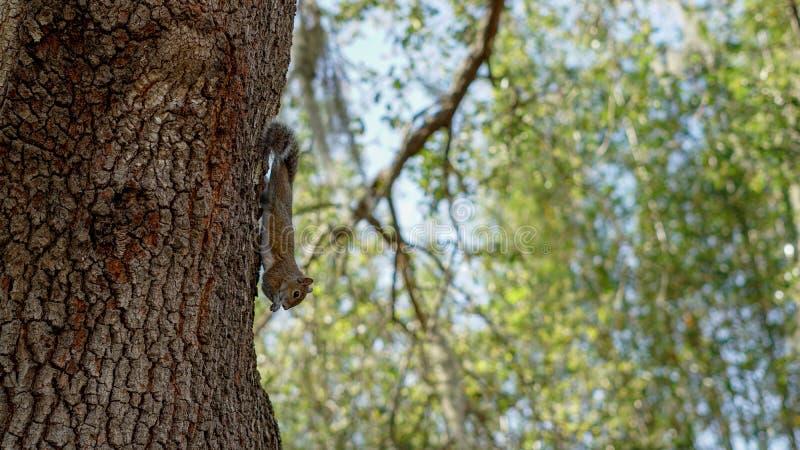 Белка ест на стороне дерева стоковые изображения rf