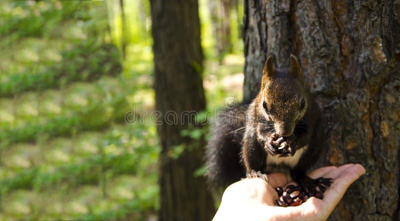 Белка ест Белка принимает гайки от его рук стоковая фотография