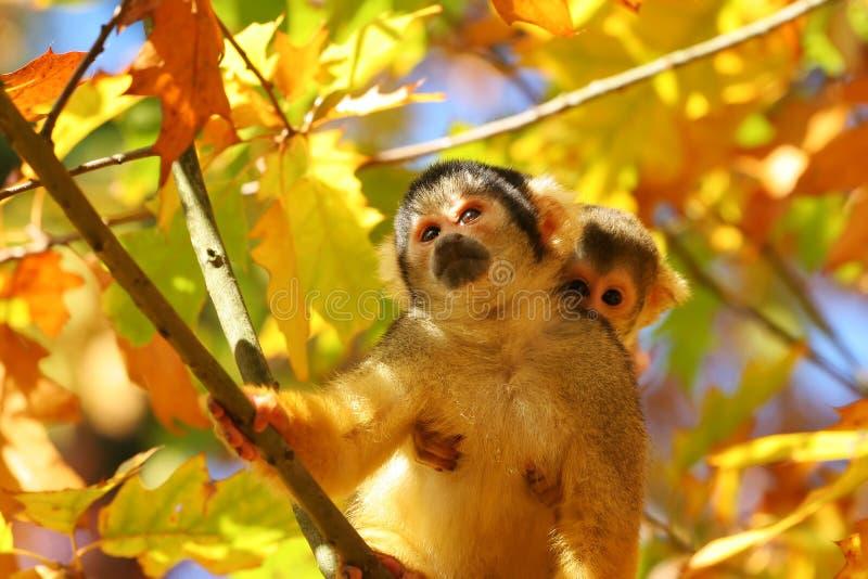 белка обезьяны стоковое изображение rf