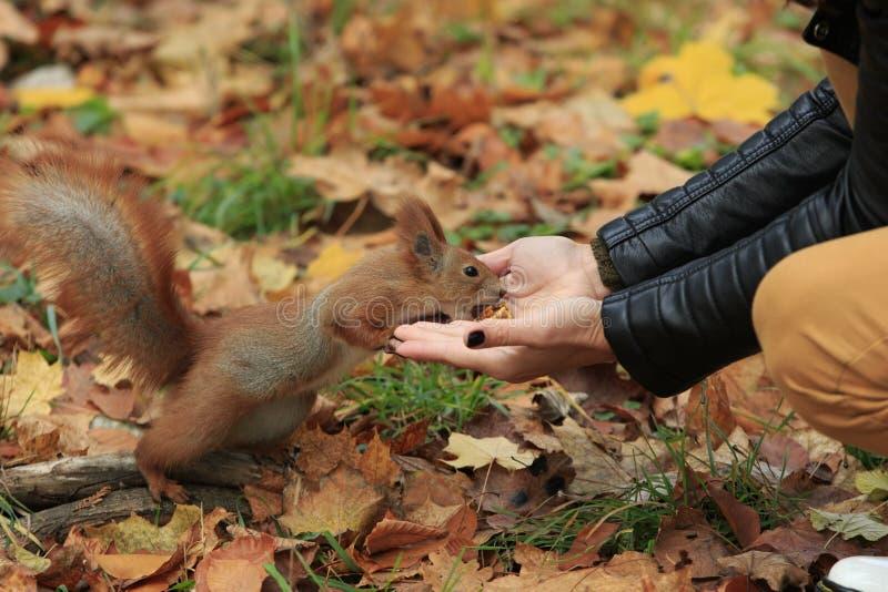 Белка получает грецкий орех от рук стоковое фото