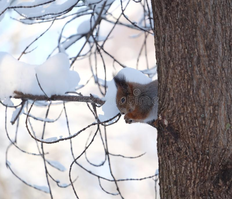 Белка сидит на замороженном дереве несется снежный лес зимы и ест еду стоковые фото