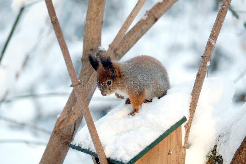 Белка сидит na górze фидера еды на замороженном лесе зимы стоковые фотографии rf