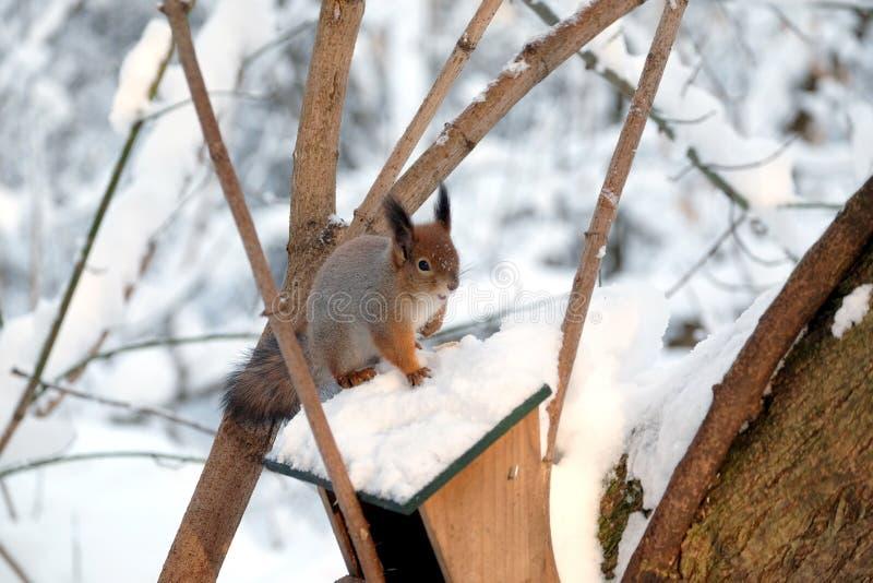 Белка сидит na górze фидера еды на замороженном лесе зимы стоковые изображения rf