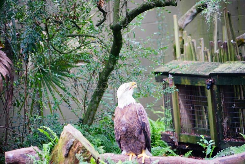 Белоголовый орлан отдыхает стоковые фото