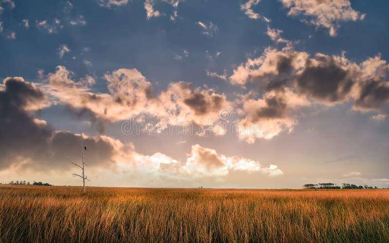 Белоголовый орлан садить на насест в мертвом дереве обозревая землю болота на чесапикском заливе на заходе солнца стоковое фото rf