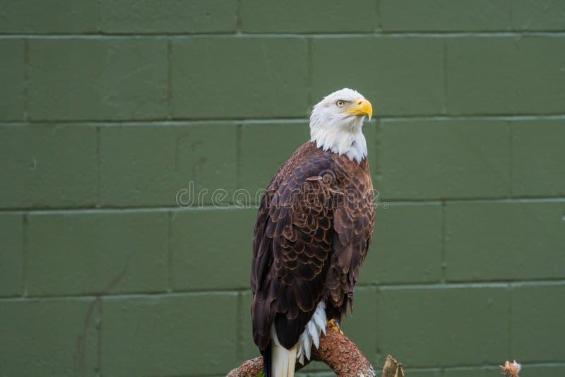Белоголовый орлан садить на насест на журнале стоковая фотография rf