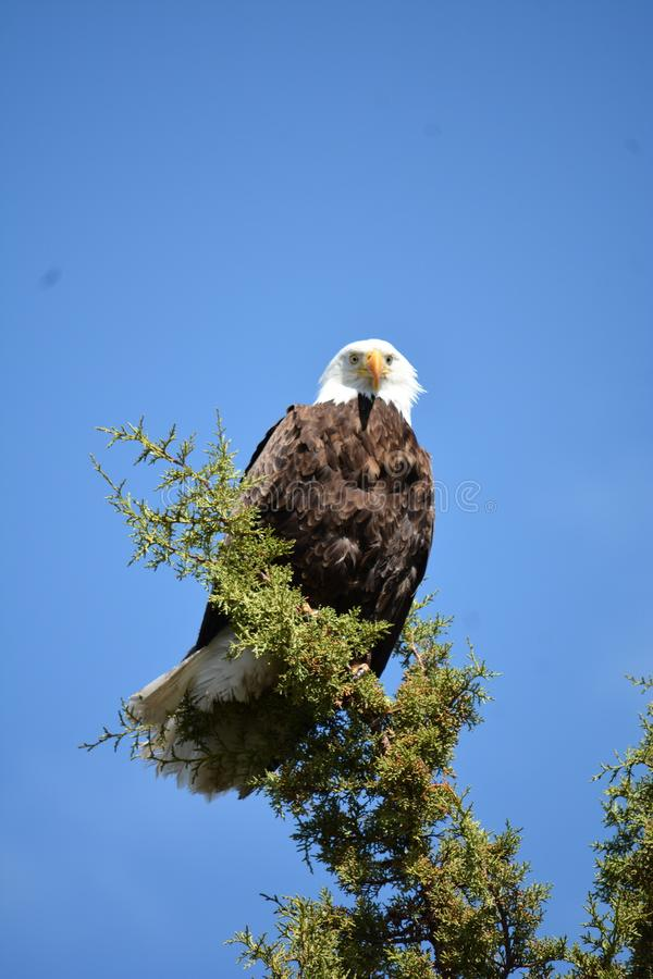 Белоголовый орлан Magestic около парка штата палисадов бухты стоковые изображения