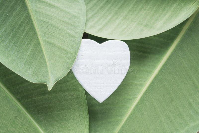 Белое деревянное сердце на листьях фикуса стоковые изображения