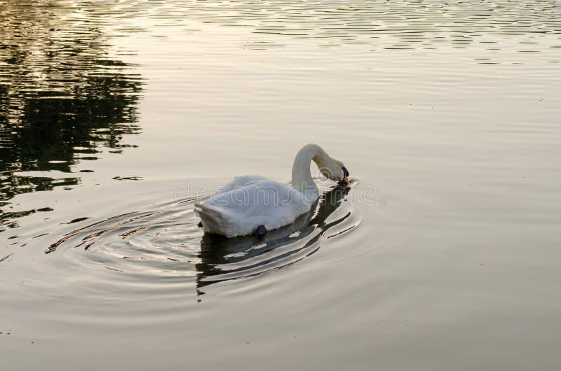 Белое заплывание лебедя на озере стоковая фотография