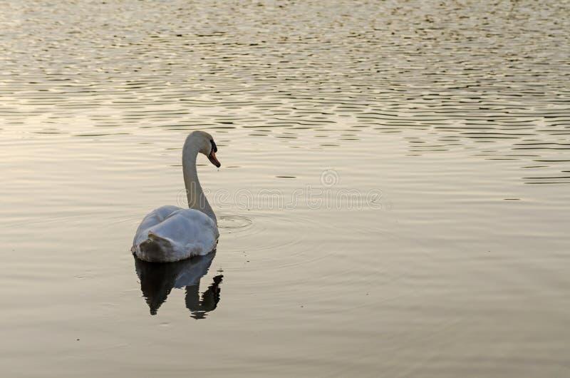 Белое заплывание лебедя на озере стоковое изображение rf