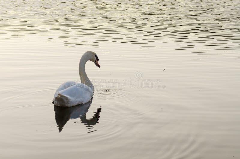 Белое заплывание лебедя на озере стоковое фото rf