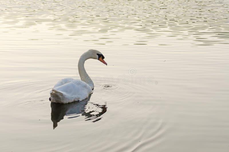Белое заплывание лебедя на озере стоковые изображения rf