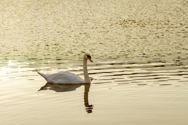 Белое заплывание лебедя на озере стоковые фото