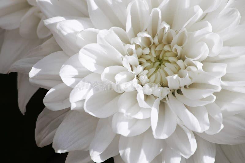 Белое изображение макроса хризантемы стоковые фотографии rf