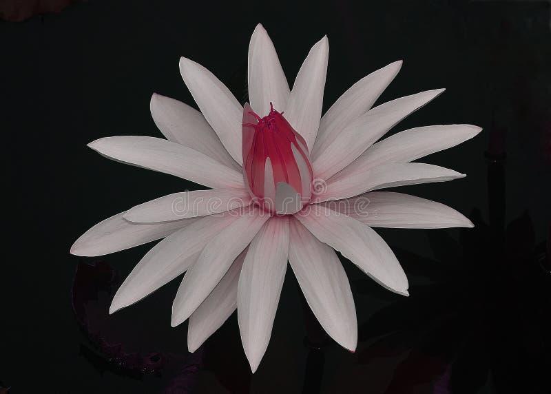 Белое и розовое lilie стоковое изображение