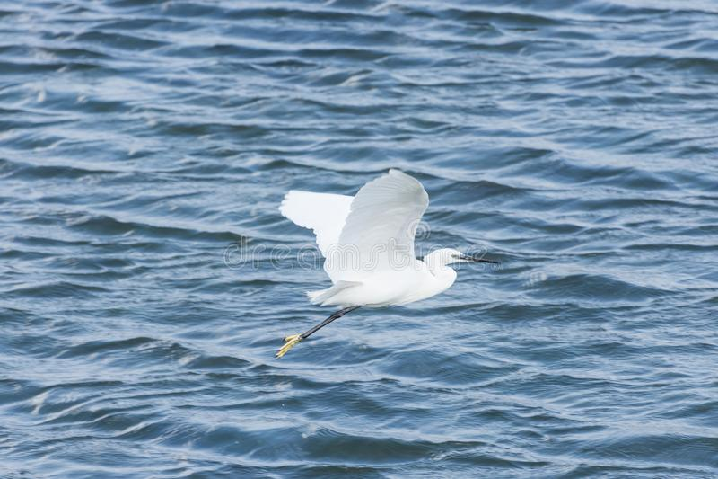 Белое летание egret через лагуну стоковое изображение rf