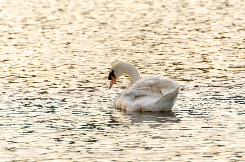 Белое озеро ‹on†плавания лебедя стоковая фотография