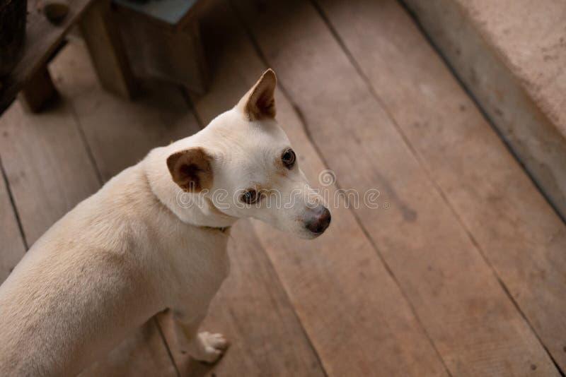 Белое перекрестное изображение взгляда сверху собаки породы стоковое фото rf