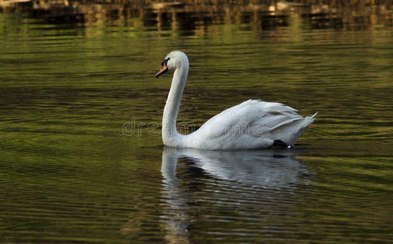 Белое плавание лебедя в пруде стоковое изображение rf
