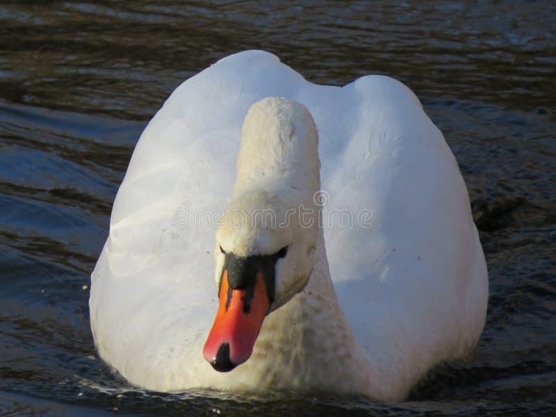 Белое плавание лебедя на конце-вверх реки стоковое фото