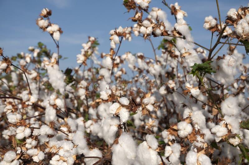 Белое поле хлопка стоковое фото