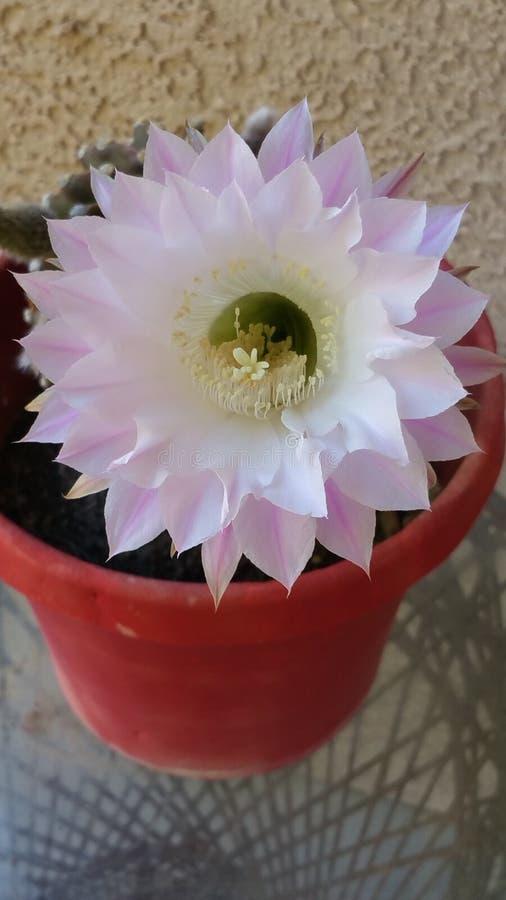 Белое цветене кактуса то зацветает только один раз в год стоковые изображения
