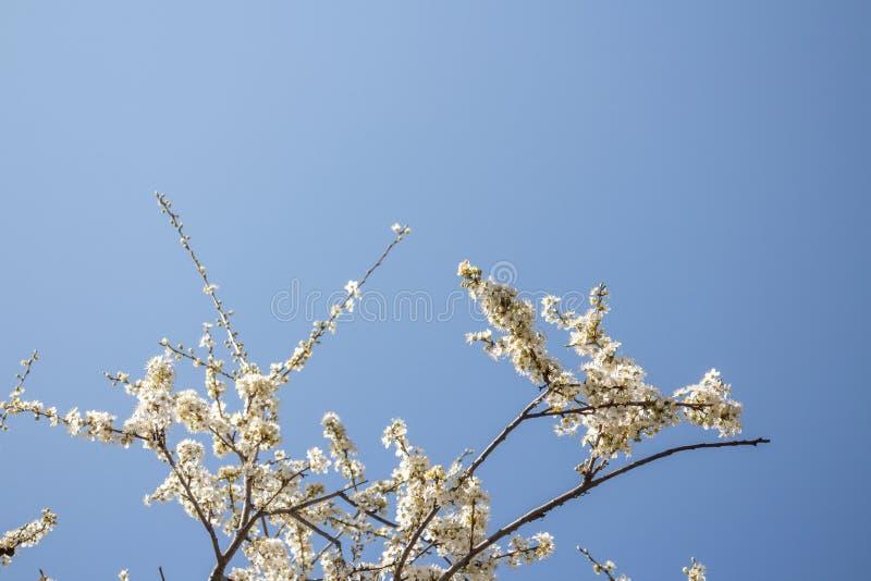 Белое цветение весны стоковые фотографии rf