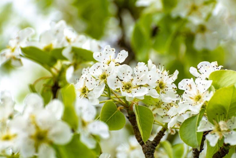 Белое цветение кислой вишни в саде стоковое изображение