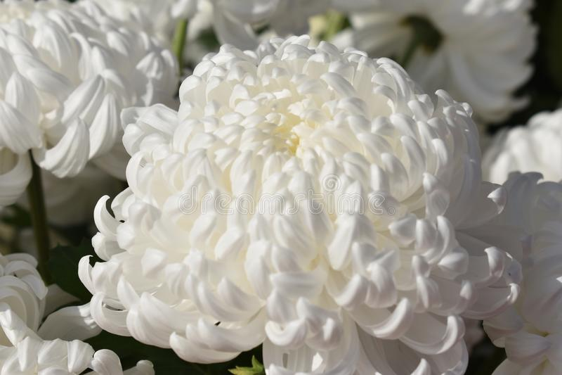 Белое chrusanthemum стоковые фотографии rf